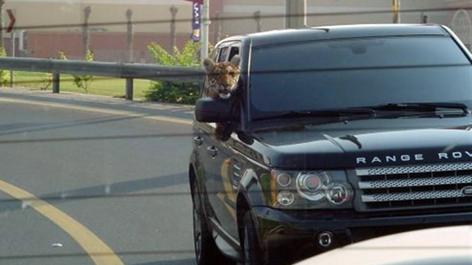It's a tiger riding in a Range Rover!